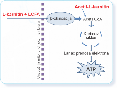 Acetil-L-karnitin pomaže stavanje energije u ćelijama