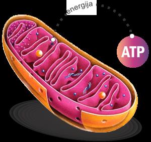 karnitini snabdevaju jajnu ćeliju energijom
